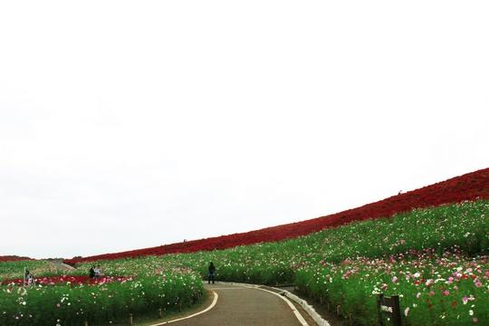 Dưới chân đồi, hơn 92.000 bông cosmos trắng, hồng uyển chuyển trong gió, vẽ thêm nét thơ mộng cho công viên.