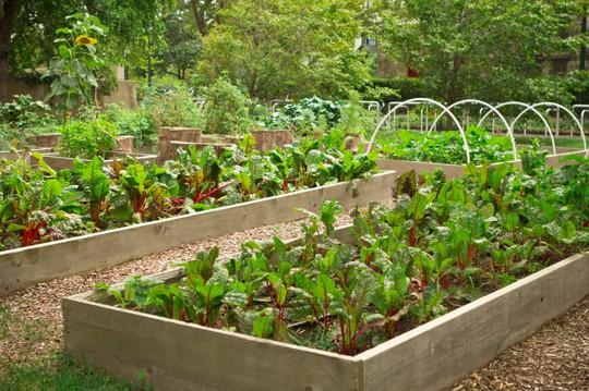 Vườn rau tươi tốt, đẹp mắt được thiết kế với từng khung gỗ xếp ngay ngắn, thẳng hàng.