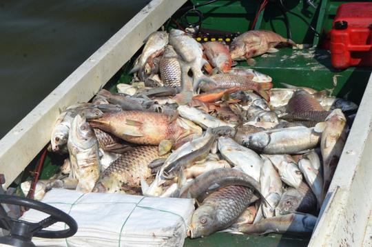 Có nhiều con cá chép, cá trắm từ 5 đến 7 kg