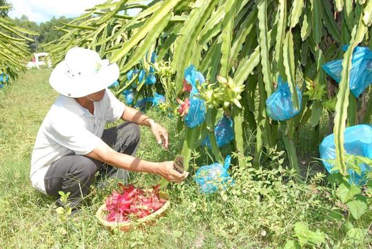 Nhiều hộ dân ở Vĩnh Long đang phát triển cây thanh long trong khi chưa có đầu ra ổn định Ảnh: NGỌC TRINH