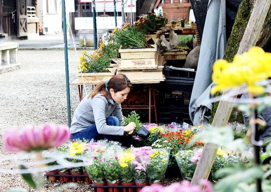 Lễ hội hoa cúc năm 2016 tại đền Kasama Inari diễn ra từ ngày 15-10 đến 23-11