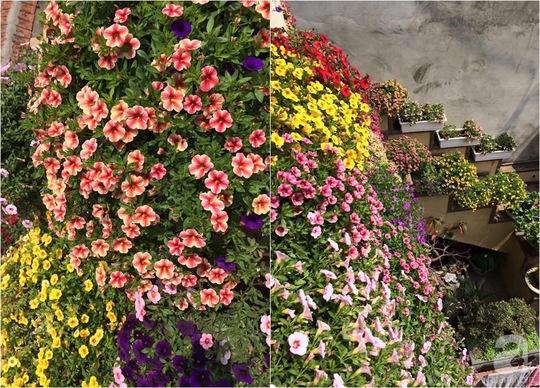 Có rất nhiều màu mix khá đẹp tạo nên thảm hoa xinh xắn cho ban công.