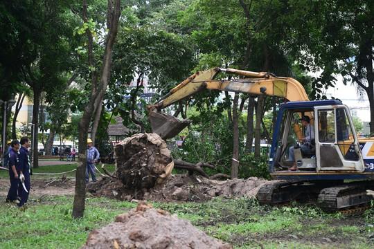 Công việc di dời cây xanh được tiến hành gấp rút nhưng hết sức cẩn thận để đảm bảo cây vẫn sinh trưởng tốt sau di dời