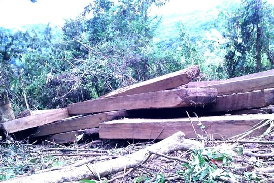 Hiện trường vụ khai thác gỗ hương lớn tại huyện Kbang vào tháng 9-2013 - Ảnh: Lê Nam