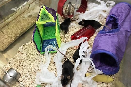 Chuột được cho ở trong môi trường phong phú Ảnh: ĐH QUEEN MARY LONDON