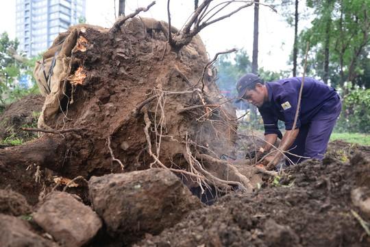 Công nhân Công ty Công viên cây xanh TP HCM xén bớt rễ cây sau khi bứng cây ra khỏi đất