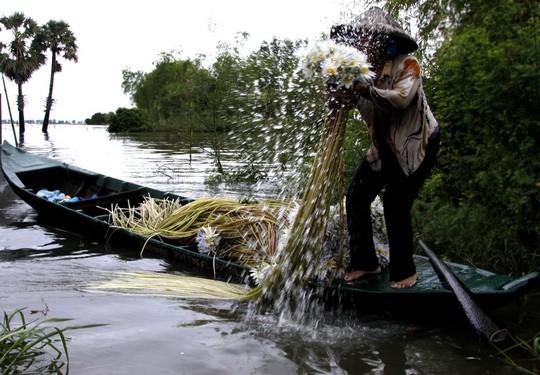 Ngoài nguồn cá, các loại rau trong mùa nước đem lại nguồn thu đáng kể cho nông dân vùng bảy núi, trong đó bông súng.