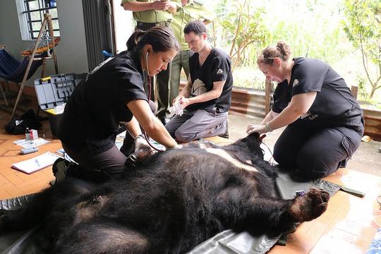 Kiểm tra sức khỏe cho chú gấu có tên Snow. Ảnh Tổ chức Động vật châu Á cung cấp