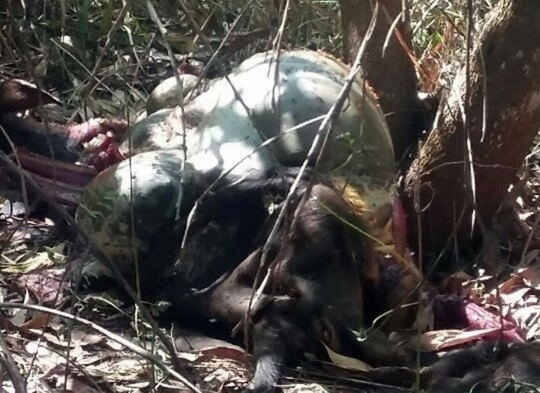Chú bò tót bị kẻ xấu săn bị thương và chết trong rừng Mã Đà năm 2012 (ảnh do cơ quan chức năng cung cấp)