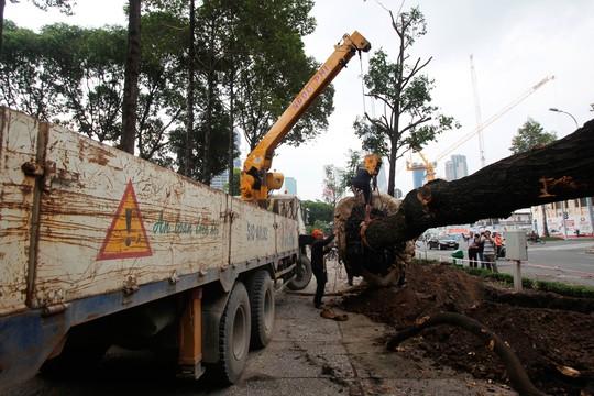 Nhẹ nhàng cẩn trọng khi đưa cây lên xe chở về nơi ở mới