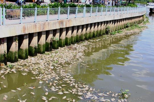 Cá chết trên kênh Nhiêu Lộc - Thị Nghè vào thời điểm chuyển mùa