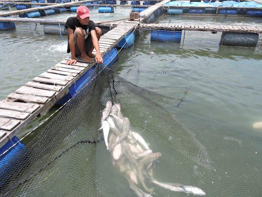 Cá nuôi trên sông Chà Và tiếp tục chết nhiều