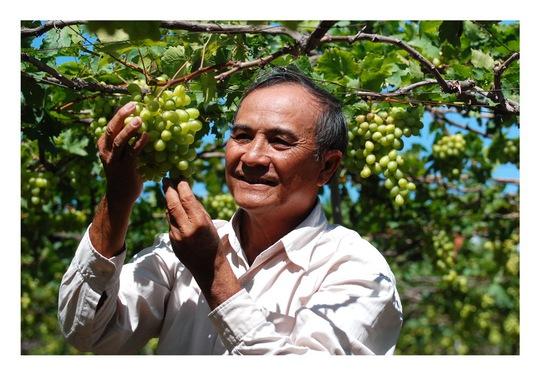 Ông Ba Mọi thường xuyên theo dõi quá trình sinh trưởng của cây nho