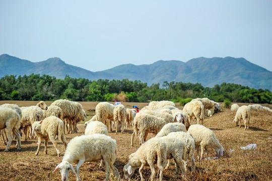 Đồng cừu Suối Nghệ là một trong những điểm đến rất hot gần đây, được du khách trẻ tuổi từ TP.HCM rất yêu thích. Ảnh: Phuong Ng.