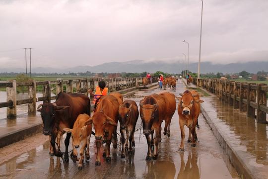 Người dân di tản trâu bò tới nơi an toàn