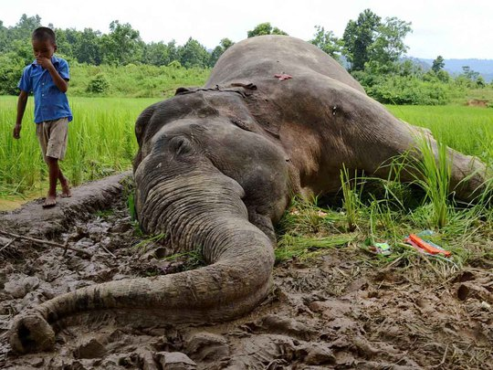 Con voi này chết sau khi ăn nhầm cây trồng phun thuốc trừ sâu ở bang Assam - Ấn Độ Ảnh: REUTERS