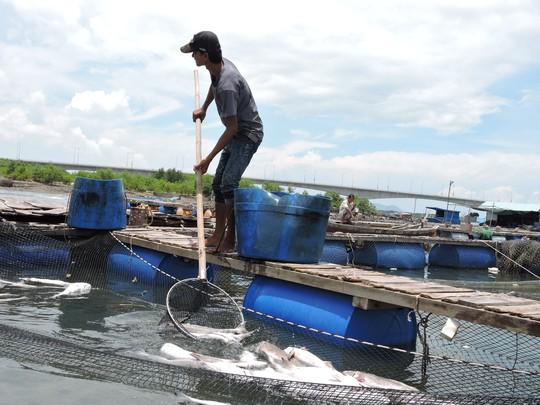 cá nuôi lồng bè ở Long Sơn liên tục chết trong nhiều năm qua