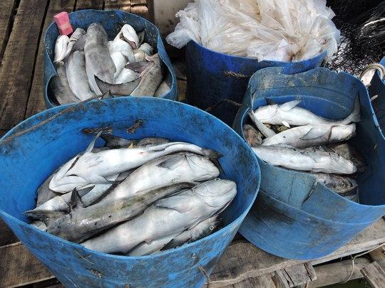 Cá tiếp tục chết trên sông Chà Và