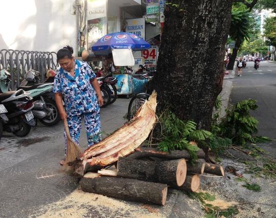 Nhánh cây sau đó được cưa ngắn và đưa vào lề đường