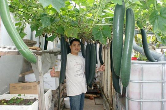 Những quả bí xanh được trồng thủy canh cho ra nhiều trái trong mùa hè.