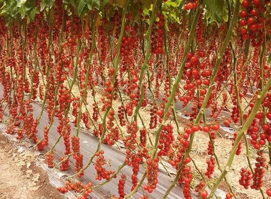 Giống cà chua cherry cho trái sai trĩu trịt, đỏ từ gốc đến ngọn.
