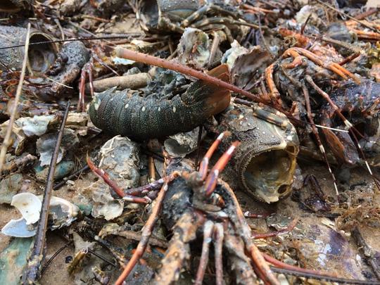 Tính đến ngày 7-11 có trên 500.000 con tôm hùm chết tại thị xã Sông Cầu (tỉnh Phú Yên)