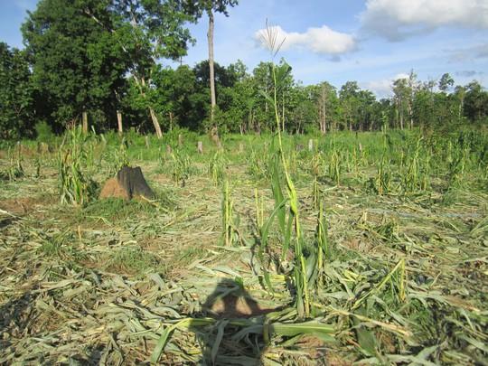 Nhiều diện tích cây trồng của người dân bị voi rừng phá nát. Ảnh B.N