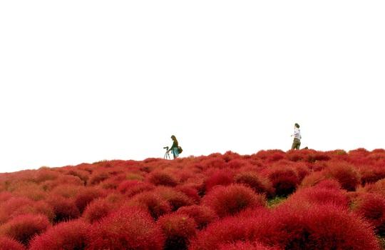 Công viên Hitachi rực rỡ giữa trời thu
