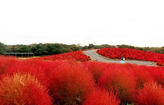Hơn 32.000 cây kochia đỏ rực đón thu
