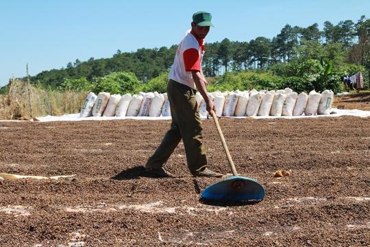 Giá cà phê tăng cao người dân Lâm Đồng nơm nớp lo sợ vấn nạn trộm cắp.