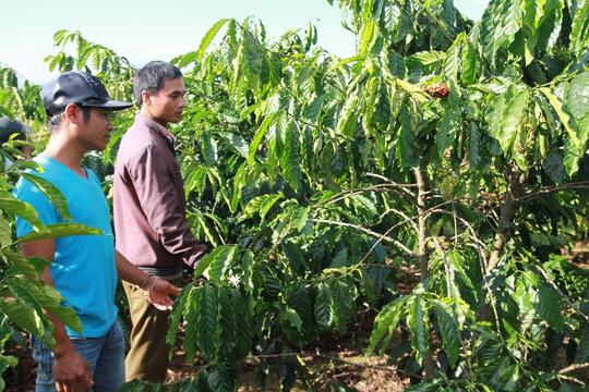 Vườn cà phê ông K Tim ở xã Đinh Trang Hòa (Di Linh) bị kẻ trộm tuốt sạch.