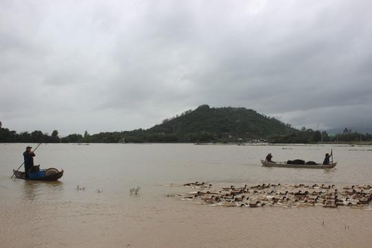 Người dân vùng rốn lũ Bình Định tất bật đưa vật nuôi đi tránh lũ để hạn chế thiệt hại
