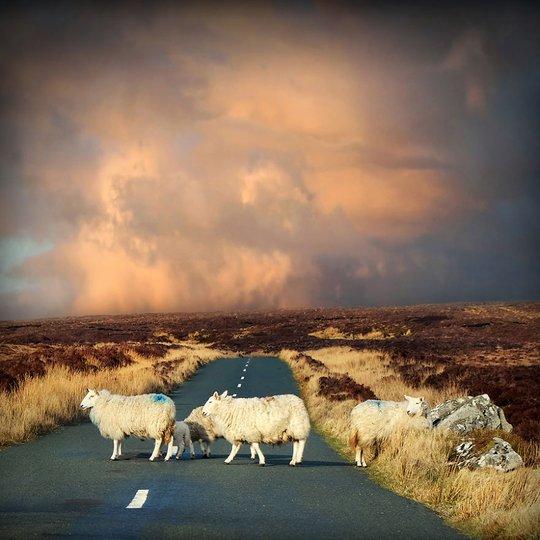 Cuộc sống thật yên bình, những chú cừu nhởn nhơ đi trên đường trên đường khá tĩnh mịch