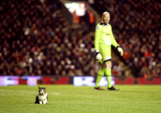 Một chú mèo dễ thương xuất hiện trên sân Anfield trận Liverpool - Tottenham năm 2012