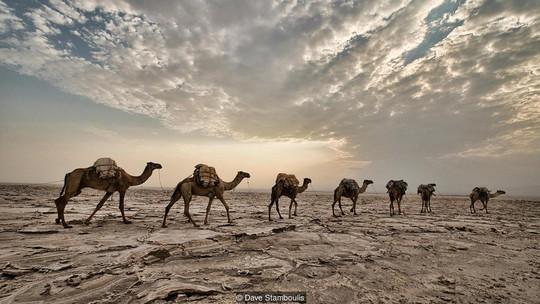 Những chuyến hàng chở muối băng qua sa mạc. Ảnh: Dave Stamboulis