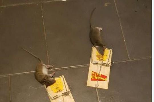 2 trong số những con chuột mắc bẫy. Ảnh: Belfast Live