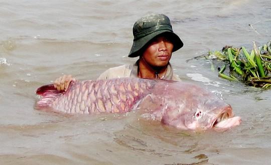 Nhân gian truyền rằng ăn thịt cá hô rất may mắn. Ảnh Internet