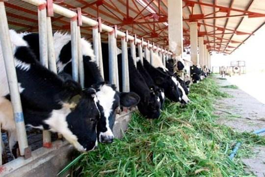 Bầu Đức tính bán cả đàn bò sữa để trả nợ ngân hàng.