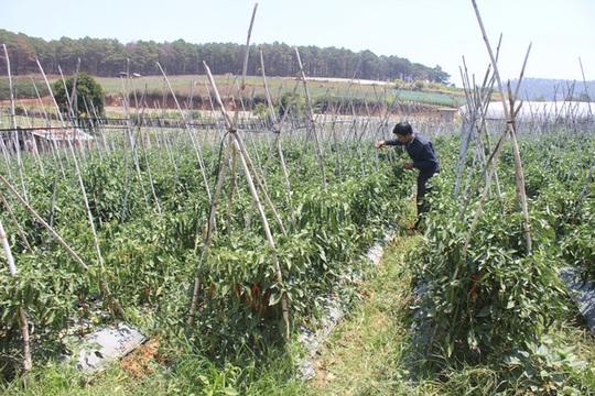 Vườn ớt chín đến đâu được thương lái thu mua hết đến đó