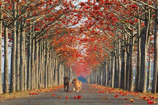 Những thân cây kỳ lạ trên một con đường ở Jerez, Tây Ban Nha.         Hoa gạo mùa xuân bên một con đường của Đài Loan.