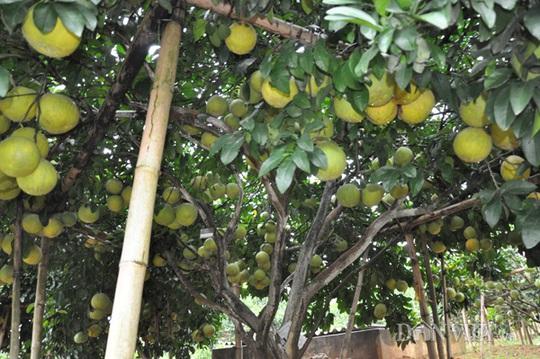 Một cây bưởi sai trĩu quả trong vườn của ông Hùng.