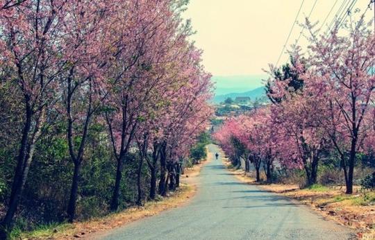Con đường hoa Mai Anh Đào nổi tiếng tại dốc Đa Quý - Trại Mát. Ảnh: Việt Anh.
