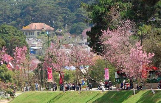 Hoa Mai anh đào đã trở thành một trong những loài hoa đặc trưng của thành phố Đà Lạt.