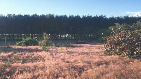 Đây là loài cỏ dại có màu hồng (thường được gọi là cỏ đuôi chồn), mọc thành từng cụm với sức sống mãnh liệt, dẻo dai. Vào tháng 11, lá của loài cỏ này sẽ chuyển sang màu hồng đẹp mắt, tạo nên khung cảnh thơ mộng đẹp như mơ