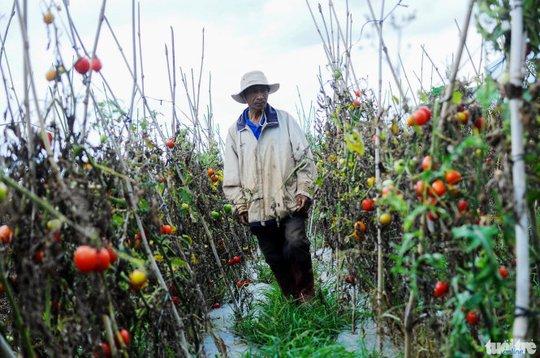 Ông Nguyễn Văn Thành xót xa khi vườn cà chua của gia đình mắc bệnh xoăn lá chết dần mà không thu được đồng nào - Ảnh: Lâm Thiên