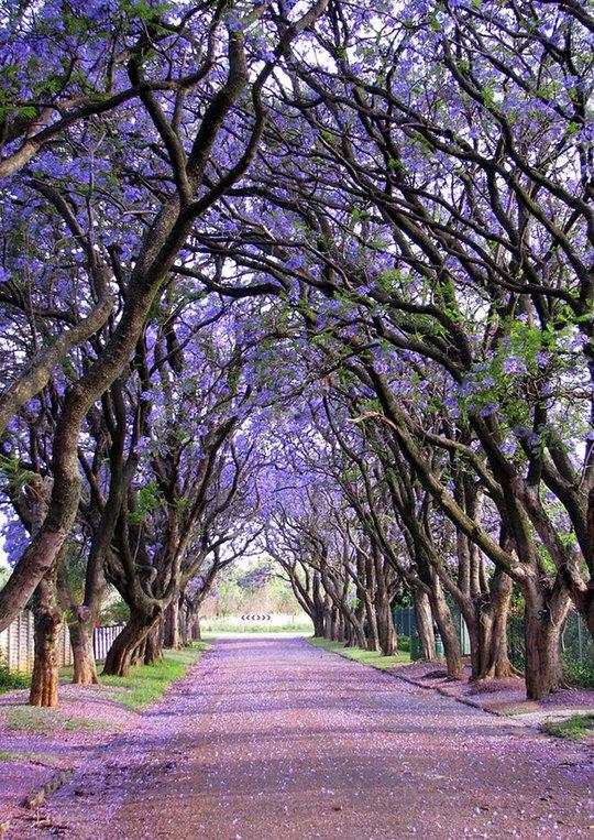 Phượng tím nở hoa rực rỡ dọc con đường tại Cullinan, Nam Phi.         Con hẻm tình tứ hoa lá ngập tràn này rất nổi tiếng ở Spello, Italy, xuất hiện trong nhiều cuốn tạp chí.         Con đường phủ kín cây xanh như rừng này nằm ở thành phố Porto Alegre, thủ phủ bang Rio Grande do Sul, Brazil.         Mùa thu về trên một con phố của thủ đô Washington, Mỹ khi những tán cây ngả vàng, rụng đầy đường.         Những thân cây kỳ lạ trên một con đường ở Jerez, Tây Ban Nha.         Hoa gạo mùa xuân bên một con đường của Đài Loan.