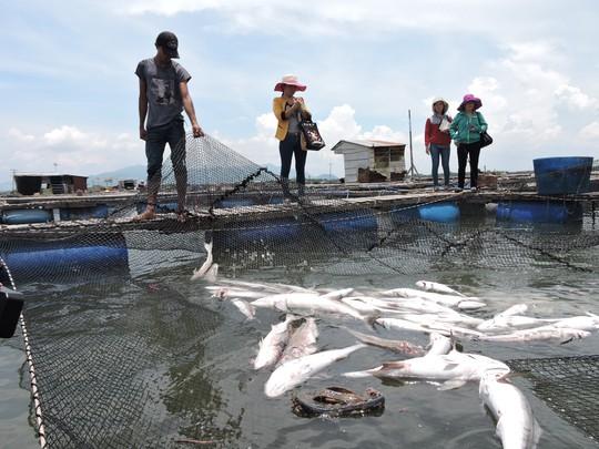 Cá chết trắng lồng khiến nhiều người nuôi cá ở xã Long Sơn, TP Vũng Tàu trắng tay