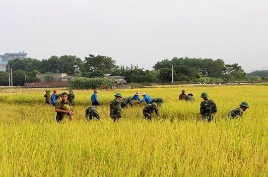 Công an, bộ đội gặt lúa giúp dân trước cơn bão