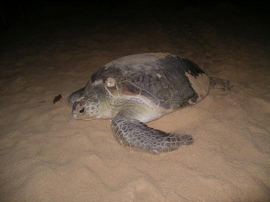 Con rùa đã bò hơn 200m lên bờ để chọn chỗ đẻ trứng