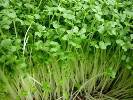 Hướng dẫn 2 cách trồng rau mầm không cần đất siêu nhanh